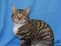 Tabby - Mitchell - Small - Adult - Male - Cat Mitchell