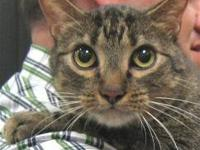 Tabby - Mr. Slinky - Large - Adult - Male - Cat Please