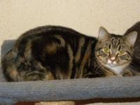 Tabby - Nestea - Large - Young - Female - Cat Nestea is