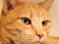 Tabby - Orange Lucy is a female 6 yr old Orange Tabby.