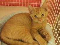 Tabby - Orange - Baxter - Large - Baby - Male - Cat I'm