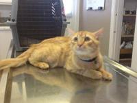 Tabby - Orange - Benny - Medium - Young - Male - Cat