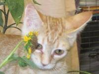 Tabby - Orange - Blythe - Medium - Baby - Female - Cat