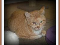Tabby - Orange - Bullet - Medium - Adult - Male - Cat