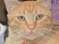 Tabby - Orange - Chatty - Small - Adult - Female - Cat