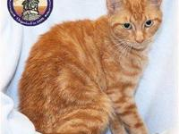 Tabby - Orange - Colby - Medium - Young - Male - Cat