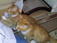 Tabby - Orange - Dexter - Medium - Baby - Male - Cat