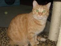 Tabby - Orange - Ella - Medium - Young - Female - Cat