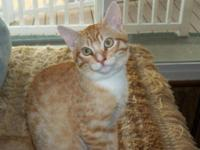Tabby - Orange - Ember - Medium - Young - Male - Cat