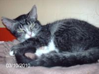 Tabby - Orange - Ernie - Medium - Adult - Male - Cat