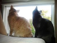 Tabby - Orange - Fred And Astor (courtesy Listing) -