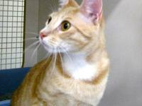 Tabby - Orange - George - Medium - Young - Male - Cat