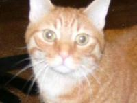 Tabby - Orange - Giffen - Medium - Adult - Male - Cat