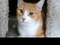 Tabby - Orange - Ginger - Small - Adult - Female - Cat