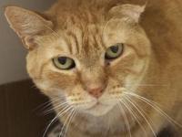 Tabby - Orange - Humphrey - Medium - Adult - Male -