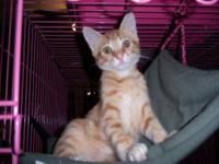Tabby - Orange - Hunter - Large - Baby - Male - Cat