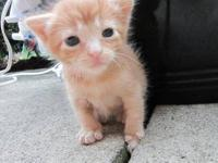 Tabby - Orange - Jake - Medium - Baby - Male - Cat Meet