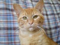Tabby - Orange - Julius - Medium - Young - Male - Cat