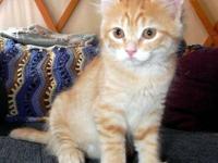 Tabby - Orange - Katie, A.k.a Katrina - Medium - Young