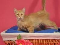 Tabby - Orange - Kayla - Medium - Adult - Female - Cat