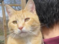 Tabby - Orange - Kirkwood - Small - Adult - Male - Cat