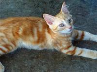 Tabby - Orange - Kitkat Sweet As Candy! - Small - Baby