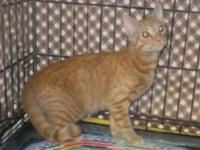 Tabby - Orange - Kolsen - Medium - Young - Male - Cat