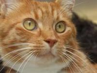 Tabby - Orange - Lance - Medium - Young - Male - Cat
