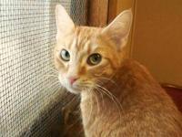 Tabby - Orange - Luna - Medium - Adult - Female - Cat