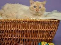 Tabby - Orange - Marbles - Medium - Adult - Male - Cat