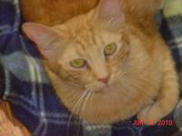 Tabby - Orange - Max - Medium - Young - Male - Cat Wow