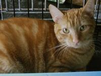 Tabby - Orange - Mike - Small - Adult - Male - Cat Mike