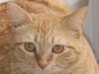Tabby - Orange - Mimi - Medium - Adult - Female - Cat