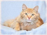 Tabby - Orange - Nathan - Medium - Young - Male - Cat
