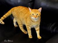 Tabby - Orange - Orange 2 Aka Teddy - Large - Adult -