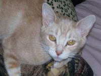Tabby - Orange - Orange Blossom - Medium - Young -