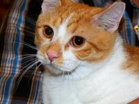 Tabby - Orange - Reeses - Medium - Young - Male - Cat