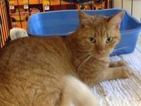 Tabby - Orange - Rusti - Medium - Adult - Male - Cat