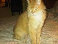 Tabby - Orange - Sally - Medium - Adult - Female - Cat