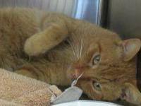 Tabby - Orange - Sammy - Medium - Adult - Male - Cat