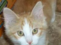 Tabby - Orange - Sofie - Medium - Young - Female - Cat