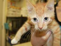 Tabby - Orange - Spice - Large - Baby - Male - Cat