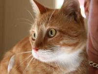 Tabby - Orange - Spike - Medium - Young - Male - Cat