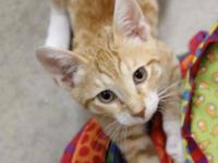 Tabby - Orange - Steven - Medium - Baby - Male - Cat