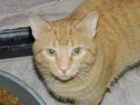 Tabby - Orange - Stubby - Medium - Young - Male - Cat