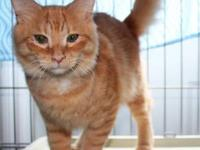 Tabby - Orange - Tango - Medium - Young - Male - Cat