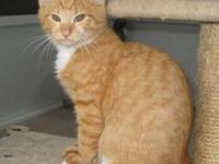 Tabby - Orange - Thomas - Medium - Young - Male - Cat
