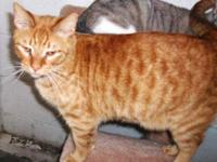 Tabby - Orange - Tiger - Medium - Baby - Male - Cat