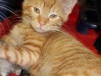 Tabby - Orange - Vinnie - Medium - Young - Male - Cat