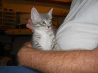 Tabby - Oscar - Medium - Baby - Male - Cat Oscar is a